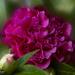 double ruffled camellia by koalagardens
