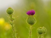 15th Aug 2020 - thistle