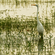 15th Aug 2020 - Great White Egret