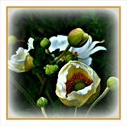 16th Aug 2020 - Japanese Anemones