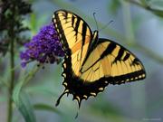 21st Jul 2020 - Eastern Tiger Swallowtail