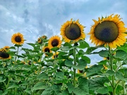 16th Aug 2020 - Sunflowers in line.