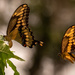 Giant Swallowtail Butterflys Playing Chase! by rickster549