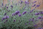 15th Aug 2020 - Lavender
