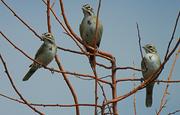 16th Aug 2020 - Lark Sparrows