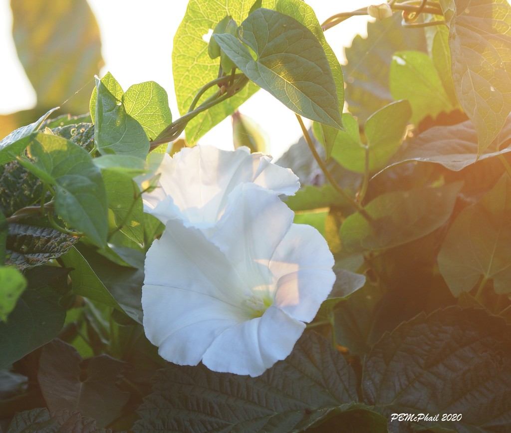 Morning Glory Glory! by selkie