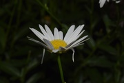 15th Aug 2020 - Daisy