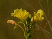 16th Aug 2020 - evening primrose