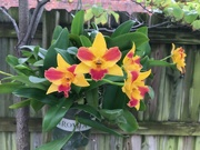 17th Aug 2020 - Orchid Fever
