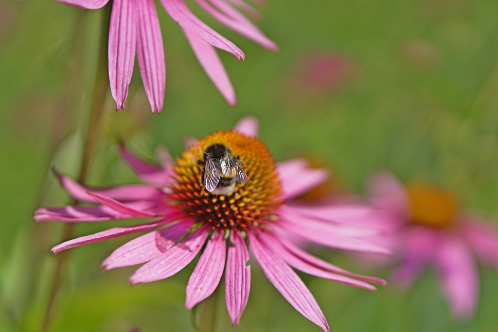 small bee and echinacea by quietpurplehaze