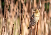 17th Aug 2020 - The Mrs of the reeds