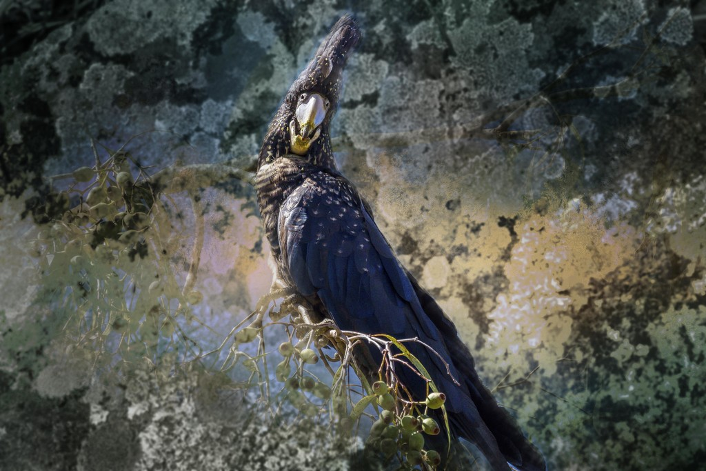 Black cockatoo by pusspup