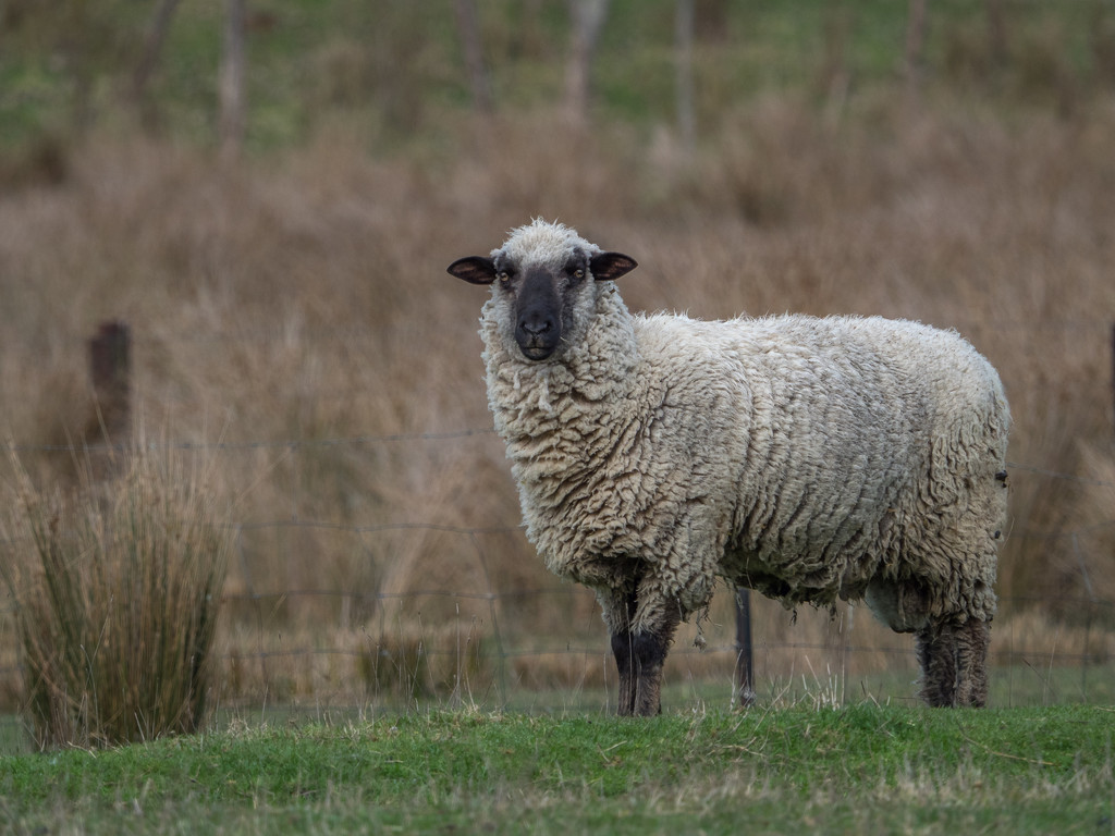 Sheep with a heavy coat by gosia