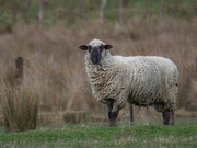 16th Aug 2020 - Sheep with a heavy coat
