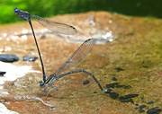 17th Aug 2020 - More Damselflies On the Way