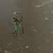 Venusta Orchard Spider by randystreat
