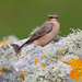 Wheatear by lifeat60degrees