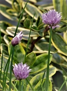 17th Aug 2020 - Chives