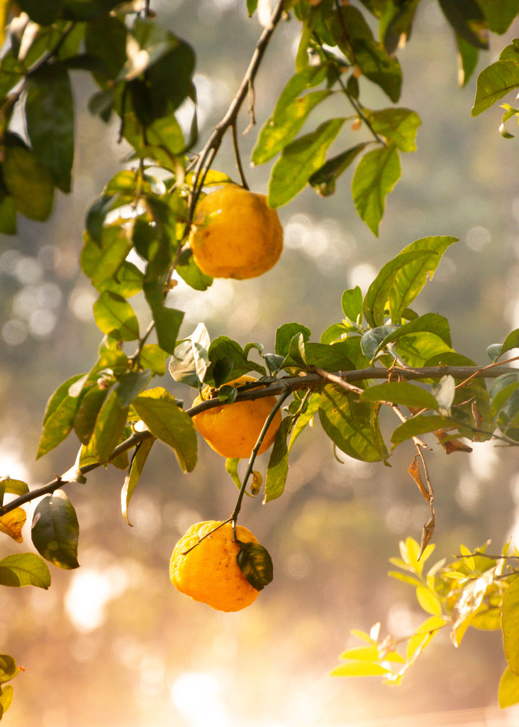 My Lemon Tree by zambianlass