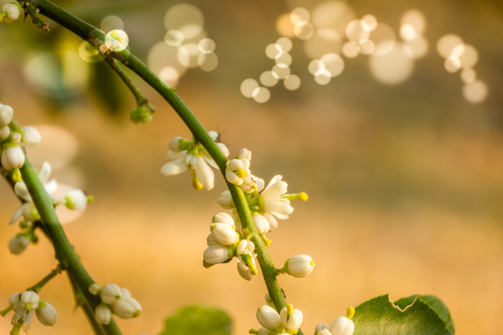 Lime Blossom by zambianlass