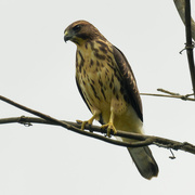 17th Aug 2020 - young Broad-winged Hawk