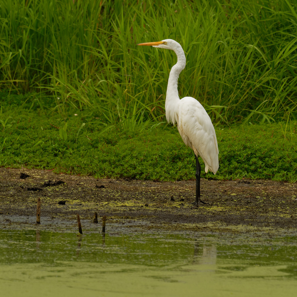 Great white egret by rminer