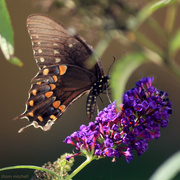 26th Jul 2020 - Spicebush Swallowtail