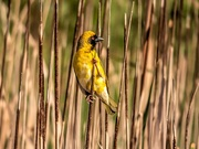 18th Aug 2020 - Another visitor in the reeds