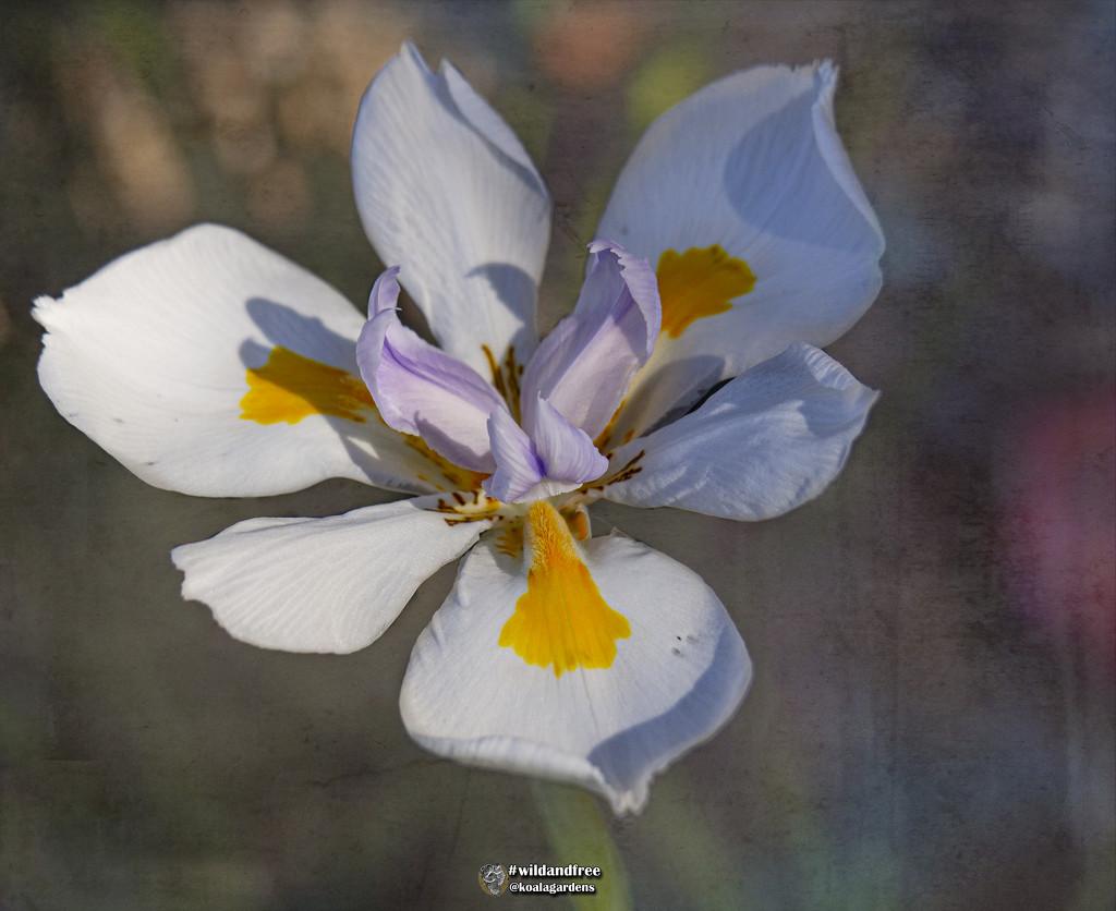 the humble Iris by koalagardens