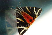 18th Aug 2020 - Spaanse vlag - the Jersey tiger