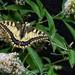 Old World swallowtail - Koninginnepage