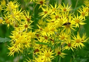 18th Aug 2020 - Common Ragwort