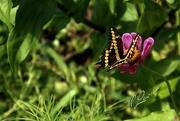 18th Aug 2020 - Giant Swallowtail (papilio cresphontes)
