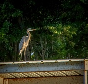 18th Aug 2020 - My friend Mr. Heron