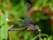 18th Aug 2020 - blue dasher dragonfly