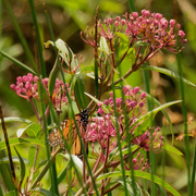 18th Aug 2020 - monarch and swamp milkweed