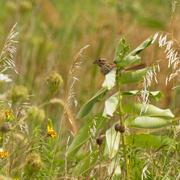 18th Aug 2020 - song sparrow