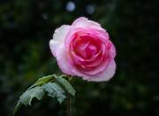 18th Aug 2020 - Rosy Raindrops 2