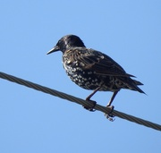 17th Aug 2020 - European Starling