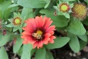 18th Aug 2020 - Bee Gallardia