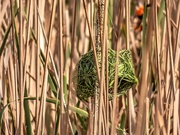19th Aug 2020 - The Nest of the Weaver