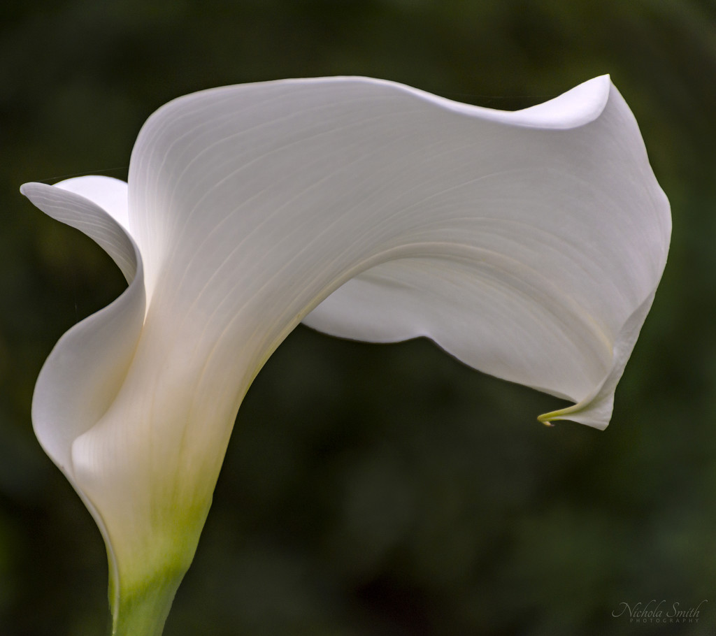 Calla by nickspicsnz