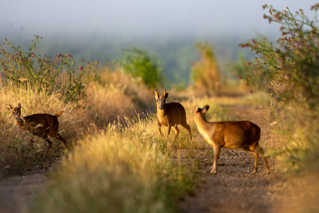 Muntjac at dawn archive by stevejacob