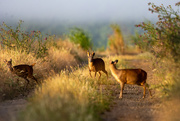 19th Aug 2020 - Muntjac at dawn archive