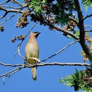 18th Aug 2020 - Cedar Waxwing