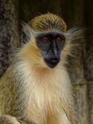 19th Aug 2020 - 0819 - Barbados Green Monkey