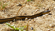 19th Aug 2020 - two-striped garter snake
