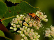 19th Aug 2020 - goldenrod soldier beetle