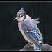 Another Bluejay by gardencat