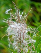 20th Aug 2020 - Rosebay Willowherb